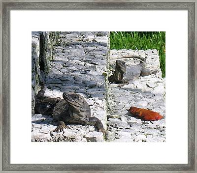 Iguana Bask In The Sun With You Framed Print by Patti Whitten