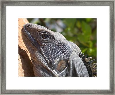 Iguana Closeup Framed Print