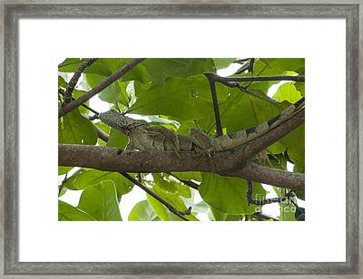 Iguana In Tree Framed Print by Dan Friend