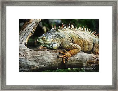 Iguana Framed Print by Jelena Jovanovic