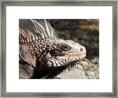 Iguana Framed Print by Jodi Terracina