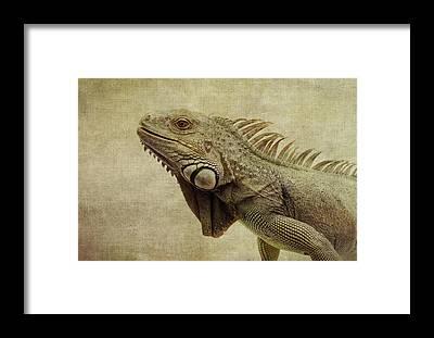 Iguana Framed Prints