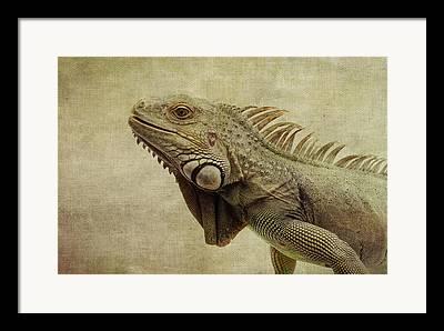 Iguanas Framed Prints