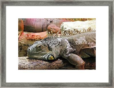 Iguana On A Branch Framed Print by Heiti Paves