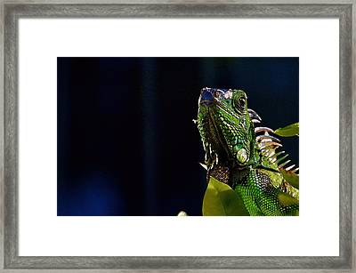 Framed Print featuring the photograph Iguana On Black by Pamela Blizzard