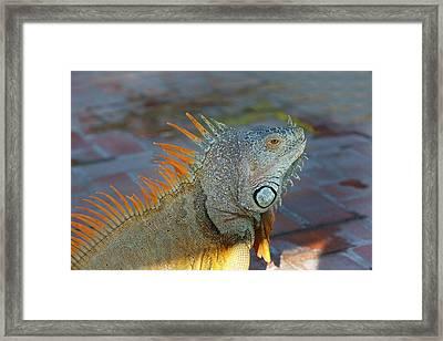 Iguana, Puerto Vallarta, Jalisco, Mexico Framed Print by Douglas Peebles