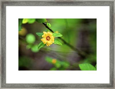 Ilima Framed Print