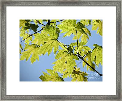 Illuminated Leaves Framed Print by Gayle Swigart