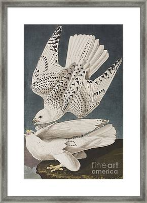 Illustration From Birds Of America Framed Print by John James Audubon