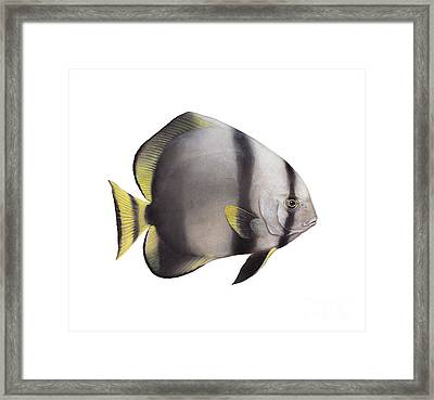 Illustration Of A Batfish, White Framed Print by Carlyn Iverson