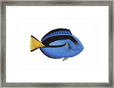 Illustration Of A Blue Tang Fish Framed Print by Carlyn Iverson