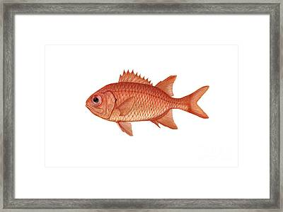 Illustration Of A Brick Soldierfish Framed Print by Carlyn Iverson