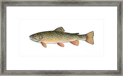 Illustration Of A Brook Trout Framed Print by Carlyn Iverson