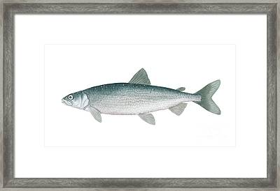 Illustration Of A Cisco, Freshwater Framed Print by Carlyn Iverson