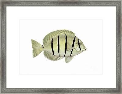 Illustration Of A Convict Tang Fish Framed Print by Carlyn Iverson