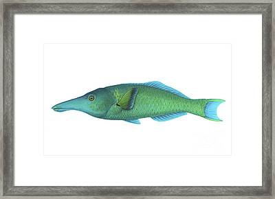 Illustration Of A Green Bird Wrasse Framed Print by Carlyn Iverson