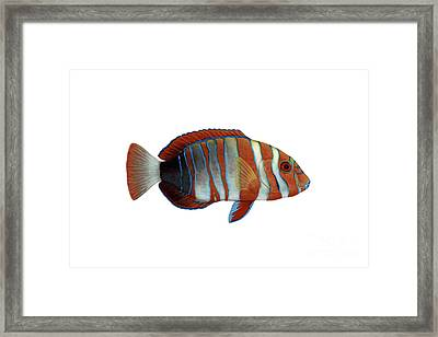 Illustration Of A Harlequin Tuskfish Framed Print by Carlyn Iverson