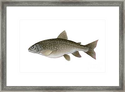 Illustration Of A Lake Trout Salvelinus Framed Print by Carlyn Iverson