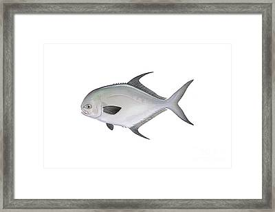 Illustration Of A Permit Fish Framed Print by Carlyn Iverson