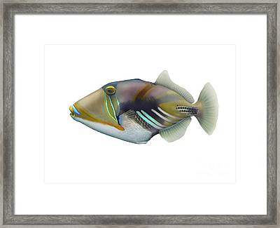 Illustration Of A Picasso Triggerfish Framed Print by Carlyn Iverson