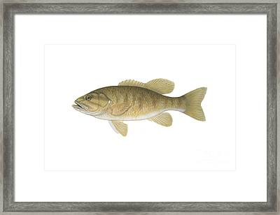 Illustration Of A Smallmouth Bass Framed Print by Carlyn Iverson