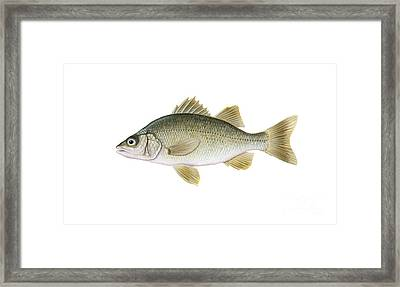 Illustration Of A White Perch Morone Framed Print by Carlyn Iverson