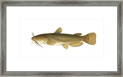 Illustration Of A Yellow Bullhead Framed Print by Carlyn Iverson