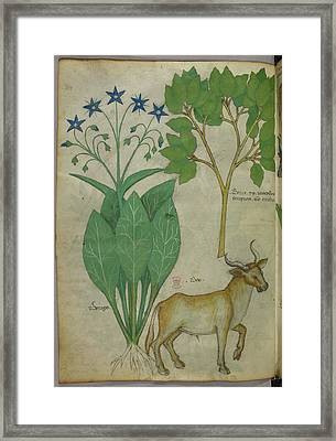Illustration Of Plants And A Bull Framed Print by British Library