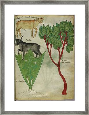 Illustration Of Plants And Bulls Framed Print by British Library