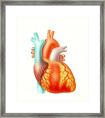 Illustration Of The Human Heart Framed Print by Carlyn Iverson