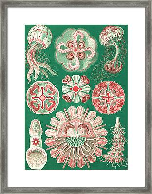 Illustration Showing A Variety Of Jellyfish Framed Print