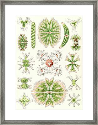 Illustration Shows Algae. Desmidiea. - Bierdinge Framed Print