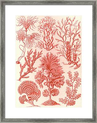 Illustration Shows Algae. Fucoideae. - Brauntange Framed Print