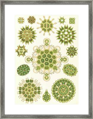 Illustration Shows Algae In The Genus Pediastrum Framed Print