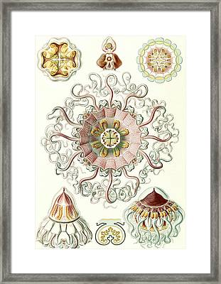 Illustration Shows Jellyfishes In The Phyllum Cnidaria Framed Print
