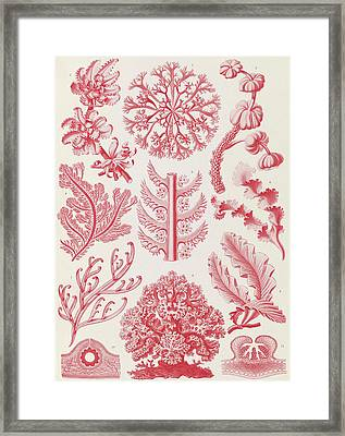 Illustration Shows Red Algae. Florideae. - Rotalgen Framed Print
