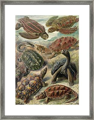 Illustration Shows Tortoises And Turtles Framed Print by Artokoloro