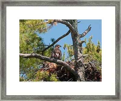 Immature Bald Eagle Framed Print by Brenda Jacobs