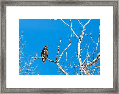 Immature Bald Eagle Framed Print