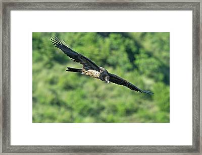 Immature Bearded Vulture In Flight Framed Print by Tony Camacho