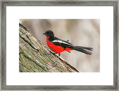 Immature Crimson Breasted Shrike Framed Print