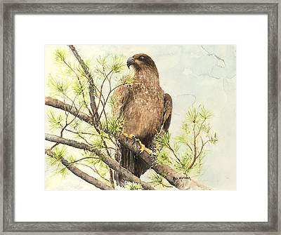 Immature Eagle Framed Print