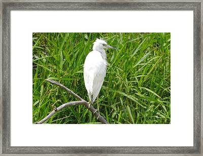Immature Little Blue Heron On Watch Framed Print