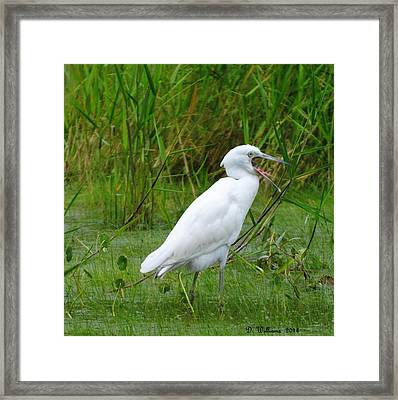 Immature Little Blue Heron Yawning Framed Print