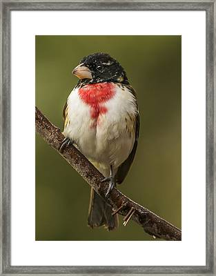 Immature Male Rose-breasted Framed Print