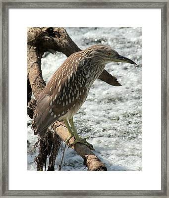 Framed Print featuring the photograph Immature Night Heron by Kenny Glotfelty