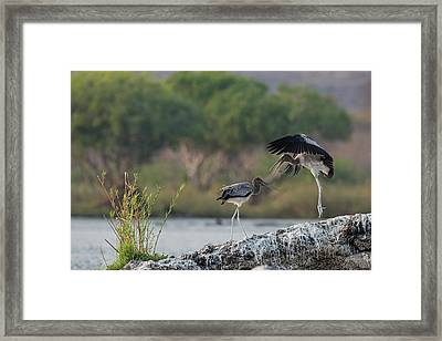 Immature Yellow-billed Storks At Play Framed Print by Tony Camacho/science Photo Library