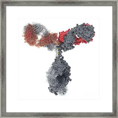 Immunoglobulin G Antibody Molecule Framed Print