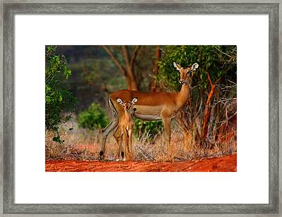 Impala And Young Framed Print by Amanda Stadther