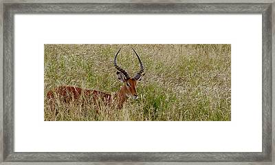 Framed Print featuring the photograph Impala Camo by Joseph G Holland
